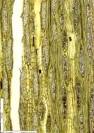 MELIACEAE Entandrophragma cylindricum