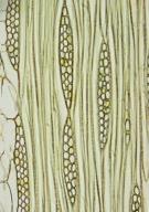 LEGUMINOSAE CAESALPINIOIDEAE Afzelia africana