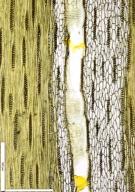 LEGUMINOSAE CAESALPINIOIDEAE Afzelia bipindensis