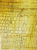 SALICACEAE Homalium longistylum