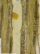 LEGUMINOSAE CAESALPINIOIDEAE Guibourtia arnoldiana