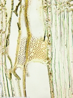 MELIACEAE Ekebergia capensis