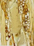 LEGUMINOSAE DETARIOIDEAE Copaifera mildbraedii