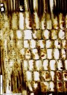 EBENACEAE Diospyros crassiflora