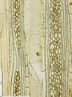 ARALIACEAE Schefflera barteri