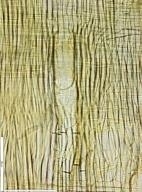 LEGUMINOSAE CAESALPINIOIDEAE Mimosoid Clade Albizia antunesiana