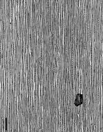 CUPRESSACEAE Sequoiadendron giganteum