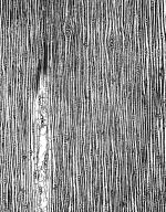 PINACEAE Pinus pumila