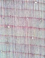 PINACEAE Pinus heldreichii