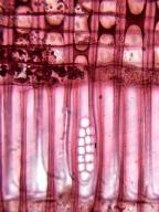 ARAUCARIACEAE Agathis alba