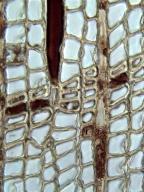 CUPRESSACEAE Fitzroya cupressoides