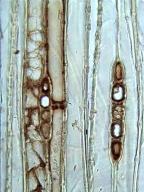 CUPRESSACEAE Libocedrus bidwillii