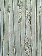 CUPRESSACEAE Metasequoia glyptostroboides