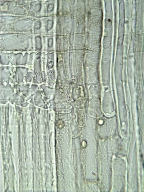 PINACEAE Pinus sylvestris