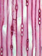 PODOCARPACEAE Podocarpus salignus