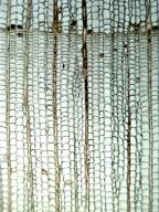 CUPRESSACEAE Chamaecyparis thyoides
