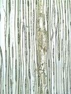 PINACEAE Picea abies