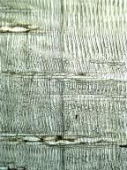 PINACEAE Pinus densiflora