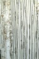 PINACEAE Pinus palustris