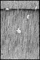 PINACEAE Pinus patula