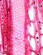 ANACARDIACEAE Anacardium spruceanum
