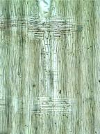 LEGUMINOSAE MIMOSOIDEAE Acacia auriculiformis