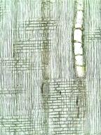 LEGUMINOSAE PAPILIONOIDEAE Amorpha fruticosa