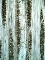 DIPTEROCARPACEAE Anisoptera thurifera