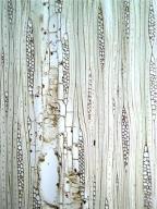 APOCYNACEAE Aspidosperma spruceanum