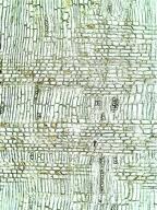 LEGUMINOSAE CAESALPINIOIDEAE Ceratonia siliqua