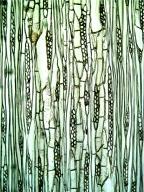 LAURACEAE Cinnamomum camphora