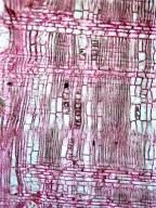 MYRTACEAE Corymbia eximia