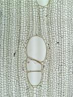 EUPHORBIACEAE Croton matourensis
