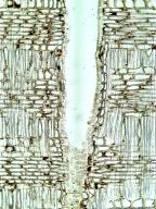 EBENACEAE Diospyros kaki