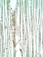 APOCYNACEAE Dyera polyphylla