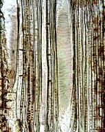 PENTAPHYLACACEAE Eurya japonica