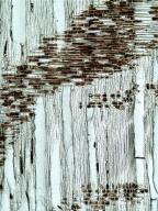 FAGACEAE Fagus orientalis