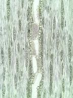 OLEACEAE Fraxinus excelsior