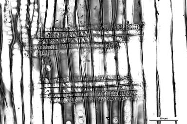 PINACEAE Pinus radiata