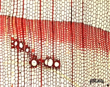 PINACEAE Pseudotsuga menziesii