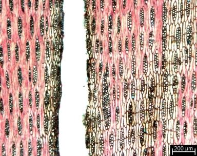 LEGUMINOSAE PAPILIONOIDEAE Dalbergia spruceana
