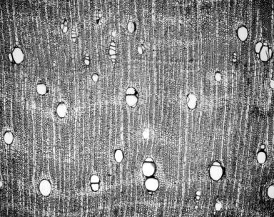 LEGUMINOSAE PAPILIONOIDEAE Dalbergia miscolobium
