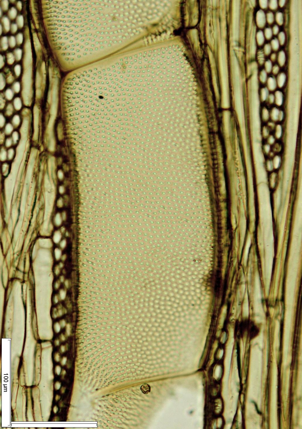LEGUMINOSAE CAESALPINIOIDEAE Prioria balsamifera