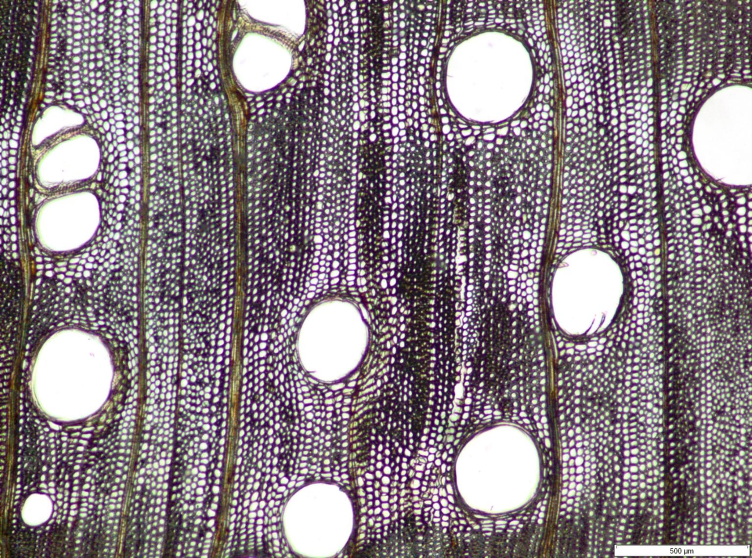 LEGUMINOSAE MIMOSOIDEAE Piptadeniastrum africanum
