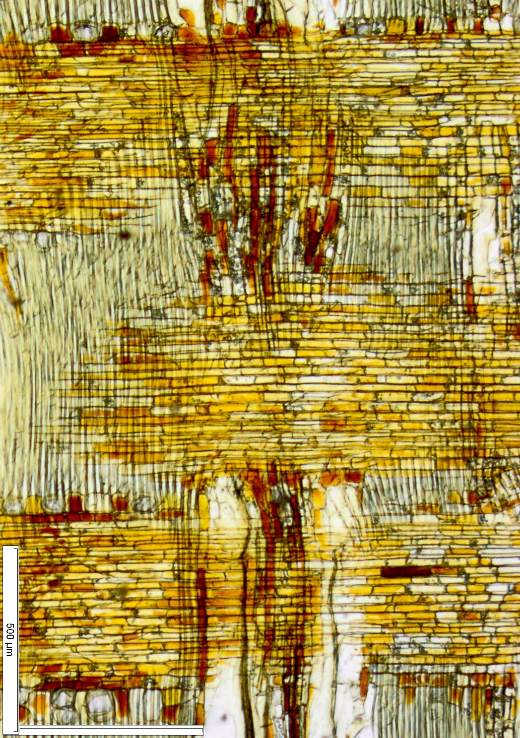 MELIACEAE Entandrophragma angolense