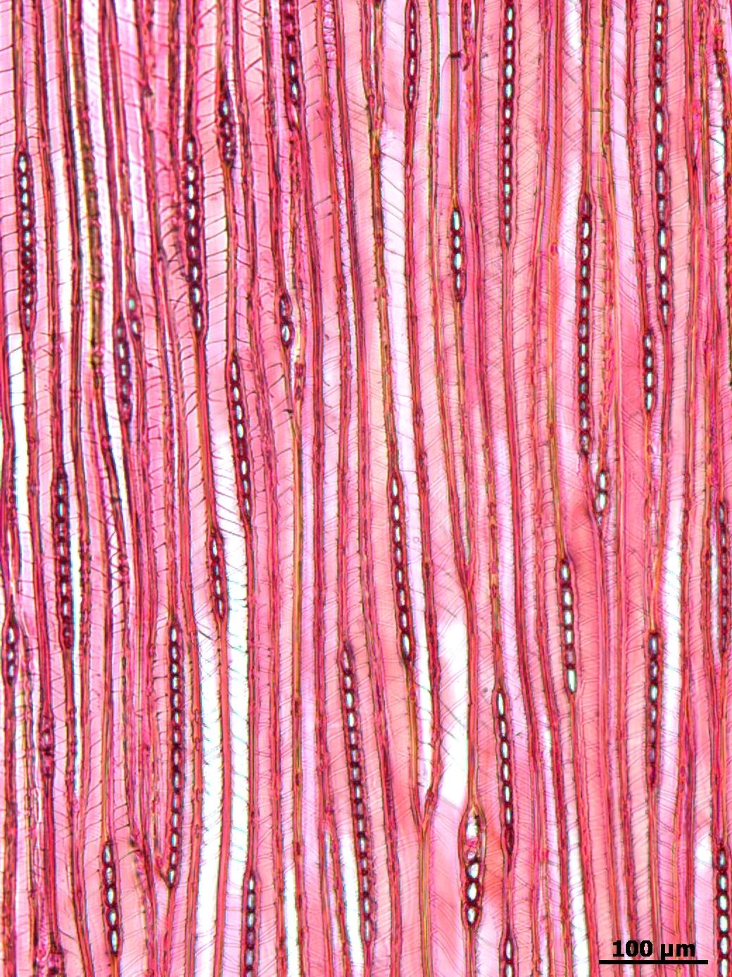 TAXACEAE Taxus cuspidata
