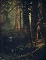 Giant Redwood Trees of California