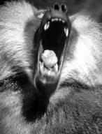 Yawning Baboon