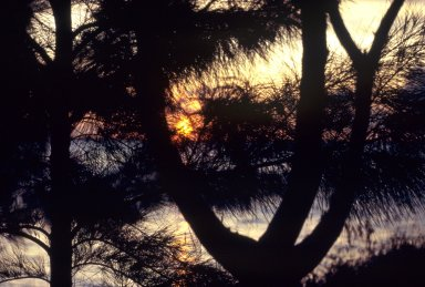 Sunset Through Trees (Australian Pines), South Florida