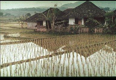 Indonesian Rice Fields